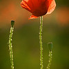 Poppy against the sun 1