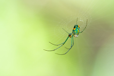An orchard orbweaver spider putting the finishing touches on her web