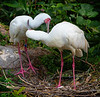 African Spoonbill Nest (captive, Jacksonville Zoo)