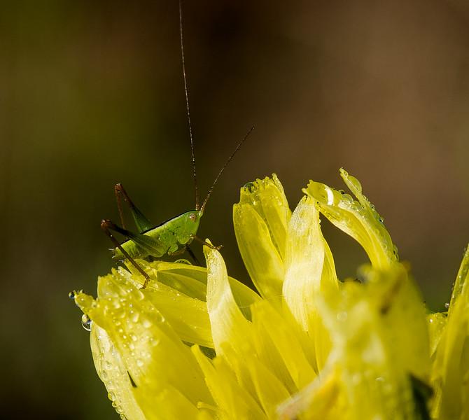Grasshopper Nymph on False Dandelion