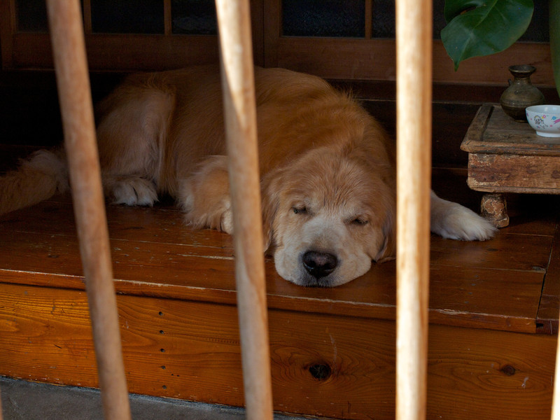 Cute dog, Japanese housing style...