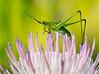 Bush Katydid  (Scudderia) Nymphs on Nuttall's Thistle (Cirsium nuttallii)