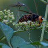This is a VERY BIG wasp! Compare with the 4 ants on the same kind of flower in another photo...