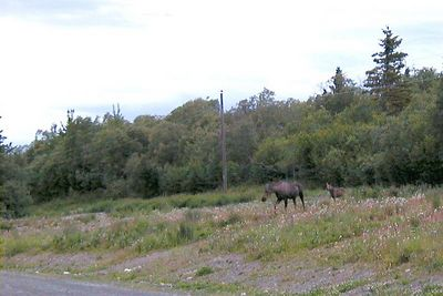 About 10:30 on a mid-July night, this cow moose and her young calf come out of the brush on the north side of the Glenn Hwy., intending to cross to the south side.
