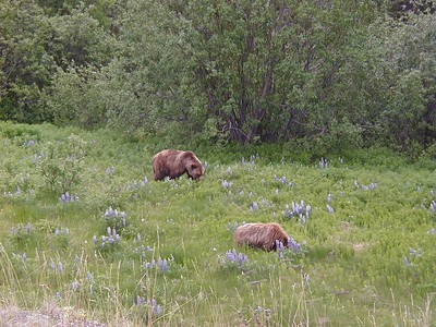 Near Haines Junction, Yukon on the Haines Cut-Off, this sow brown bear and her year-old cub were dining on a succulent natural salad when I spotted them.