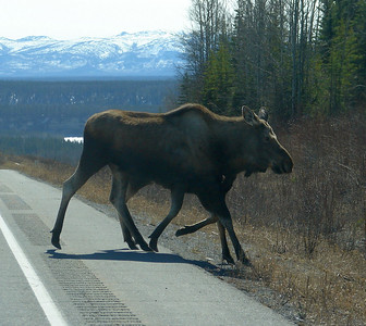 The calf seems intent on beating Ma Moose to the other side.