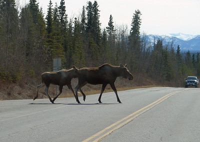 A few miles south of Glennallen on the Richardson Hwy, a cow moose with her yearling calf hurry across ahead of vehicles from both directions.