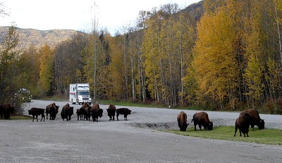 On the way back north I stopped at Trapper Ray's Liard Hot Springs Lodge for a meal. While there, this herd of bison strolled past, stopping to graze as they sauntered by.