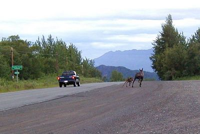 After there being no traffic for nearly half an hour, just as the two moose begin to step onto the pavement, a pickup comes zooming around the nearby curve and right at them.  They hurriedly retreated back into the brush on the uphill side of the highway.