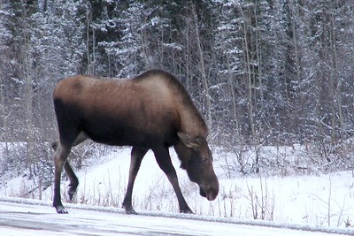 This cow moose had come out of the brush to get a few licks of the salt that is mixed with the sand that is spread by DOT crews over the fresh snow.