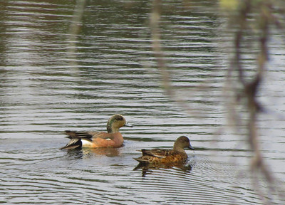 Wigeons in the Duck Pond