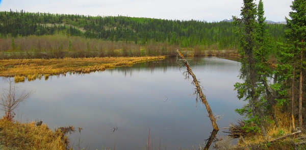 """A couple of miles from the home place - a pond, known locally as """"The Duck Pond"""", next to the Slana River.  This little body of water attracts many early spring waterfowl arrivals."""