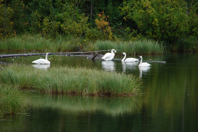 Swans in a small pond near the Lowe River a few miles from Valdez.