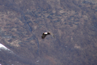 Bald Eagle Near Valdez
