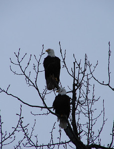 Balld eagles return to Valdez in early spring, just ahead of the salmon.