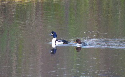 Goldeneyes in the Duck Pond
