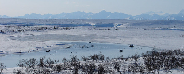 4/27/06 - At the outlet of Summit Lake, north of Paxson.  With mountains of the Alaska Range forming a backdrop, a mixture of swans and ducks enjoy the open water at the beginning of the Gulkana River.