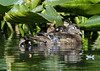 Wood Duck Mom and offspring
