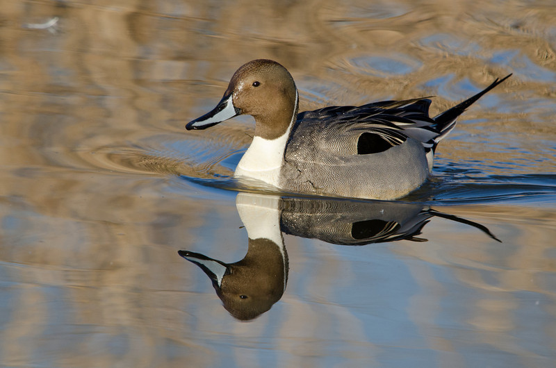 Pintail with Reflections