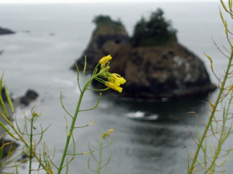 P6303185-OregonCoastWildflowers-nice-2