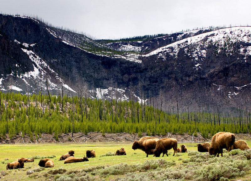 Buffalo and remnants of 88 fires, Yellowstone