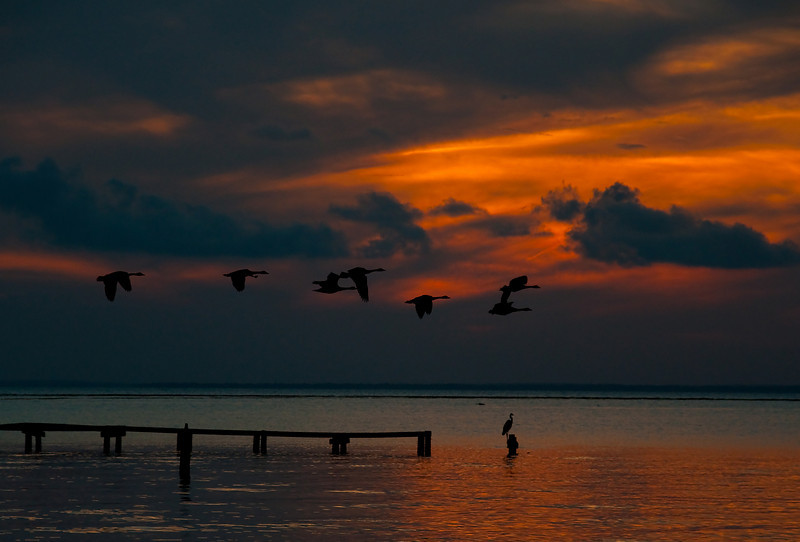 canada geese fly over a blue heron on Mobile bay