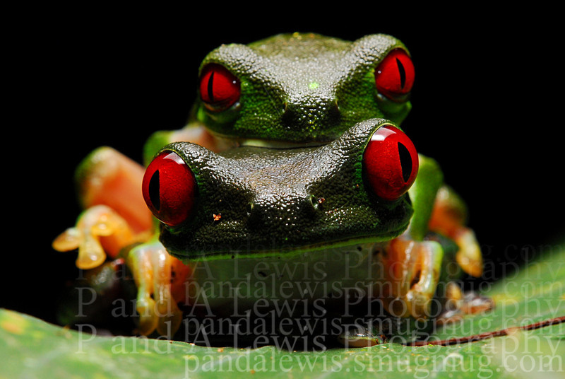 Male and female red-eyed tree frogs in amplexus near Corcovado National Park, Costa Rica.  January 2009. This photograph won Nature's Best Photography photo of the week for the week starting Friday, Feb. 6 2009.