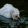 Cygnet and Duck Weed