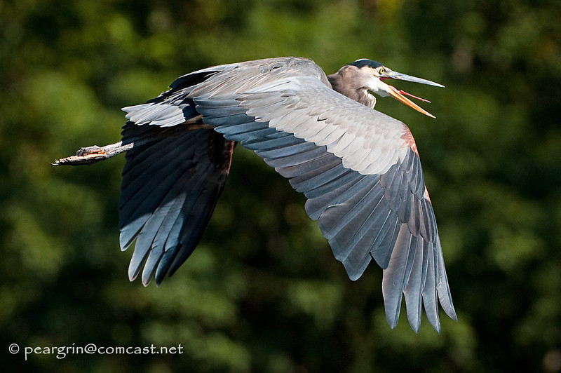 Great Blue Heron with something to say