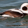 Longtailed Duck Male
