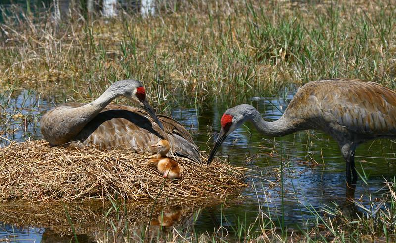 Sandhill crane family, Earth Day 2008