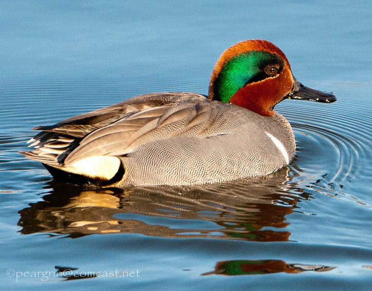 Green Winged Teal in the Sun