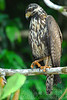 Juvenile mangrove black hawk, Osa Peninsula, Costa Rica.  January 2009.