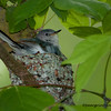 Blue Grey Gnatcatcher (in lichen nest)