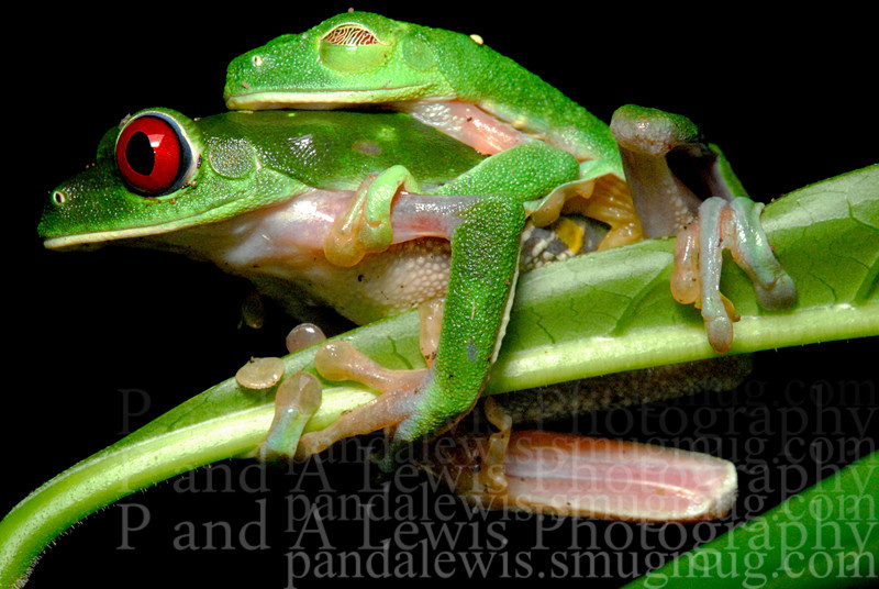 "Red-eyed tree frogs in amplexus, near Corcovado National Park, Costa Rica.  January 2009.  We usually are pretty successful avoiding anthropomorphizing but it's hard to resist labeling that guy's ""expression"" without using words like ""blissful contentment"" and the like."