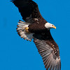 Almost Adult Bald Eagle