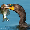 Cormorant and Crappie (thanks Dave!)