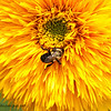 Teddy Bear Sunflower and Bumble Bee
