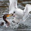 Double Crested Cormorant and Ringbilled Gull in tug-o-war for Gizzard Shad
