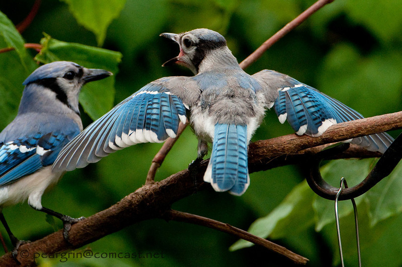 Young Blue Jay and parent