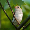 Warbling Vireo Baby, Just Fledged