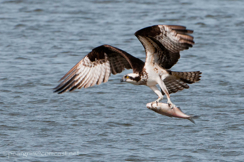Osprey and Fish