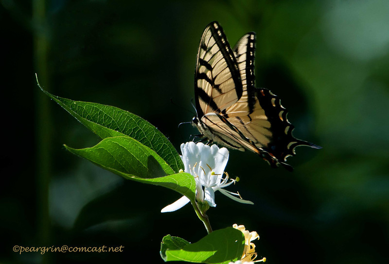 Eastern Tiger Swallowtail and Honeysuckle