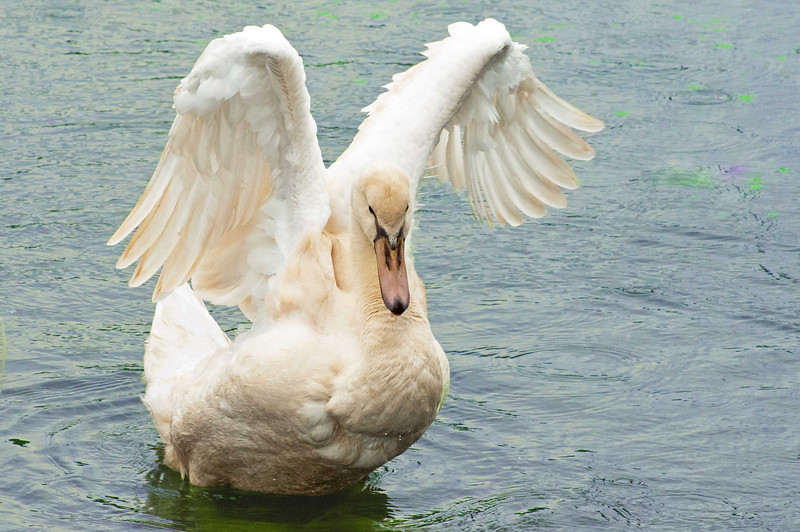 Whie Cygnet with New Wings