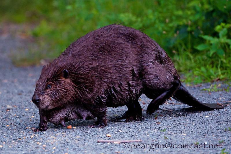 Mama Beaver
