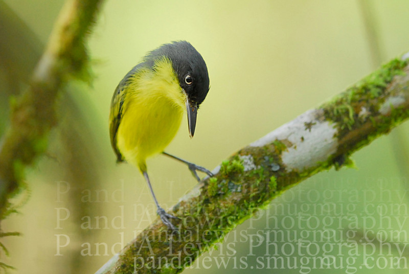 Common tody-flycatcher, La Selva Biological Station, Costa Rica.  January 2009.