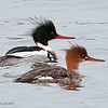 Red Breasted Mergansers