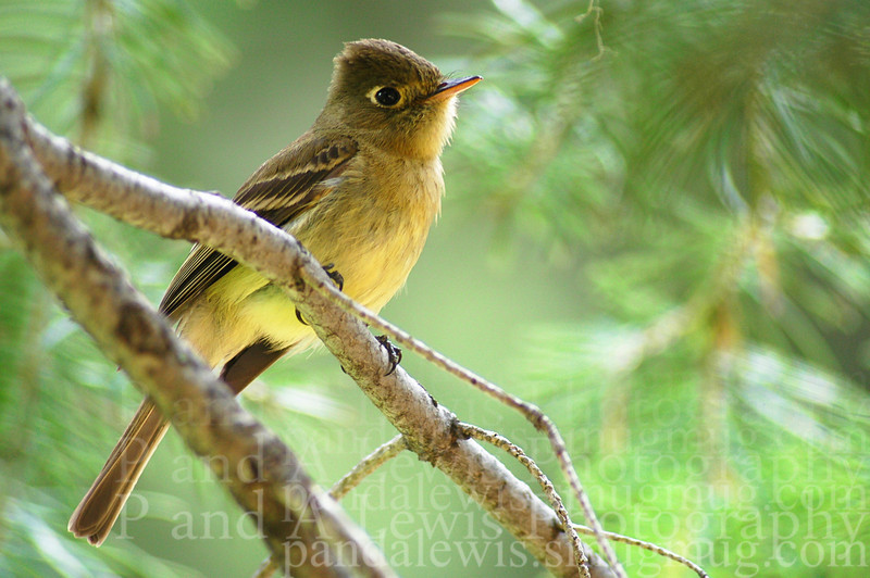 Cordilleran flycatcher, Catalina mountains, Arizona, summer 2005.