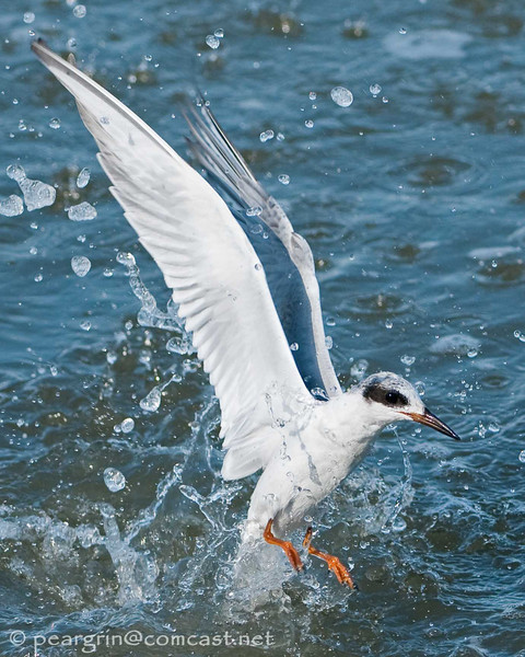 Forsters Tern, flying out of a dive