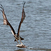 Osprey and Just-Caught Fish